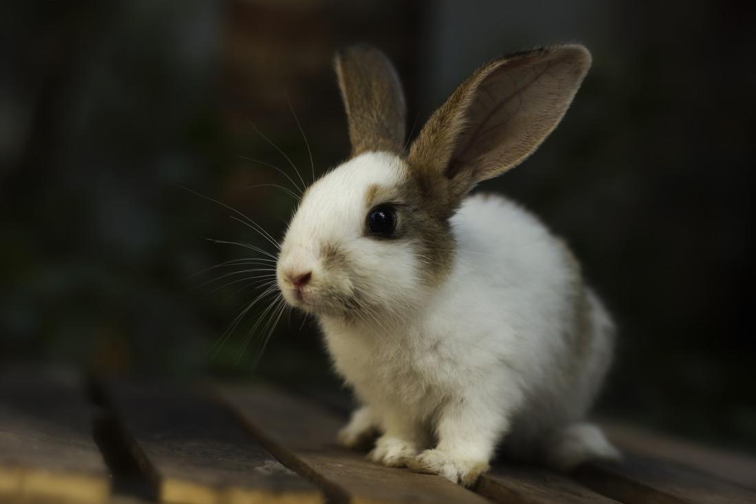 rabbit-3616436_1920